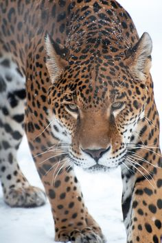 magicalnaturetour: Jaguar in Snow (by...