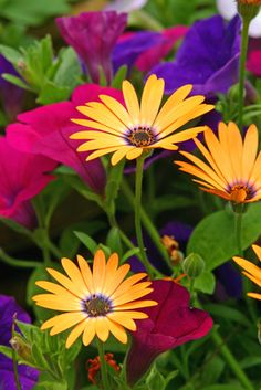YELLOW, PURPLE and PINK:  Osteospermum and petunias