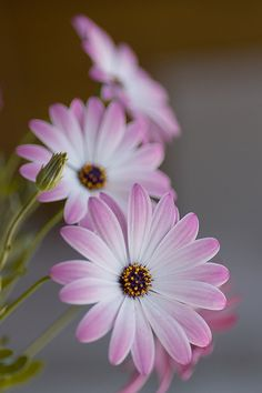 Osteospermum - commonly called African Daisy (by those who can't pronounce ༺✿Teresa Restegui http://www.pinterest.com/teretegui/✿༻osteospermum)