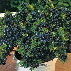 This is a Top Hat blueberry bush. I found it in Gurney's catalog. Doesn't it look so good? It can be grown as patio plant too!