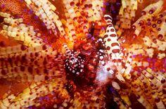 Two Coleman's commensal shrimps hide amongst a fire urchin's poisonous barbs. Creatures, Ap Biology, Oceans, Illusion, Camouflage, Shrimp, Fire, Image, Gallery