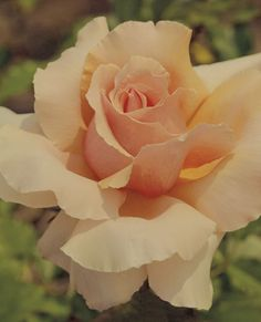 JP: Just Joey - Delicious Rich Apricot Hybrid Tea Roses
