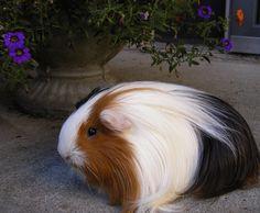 Cute silkie guinea pig