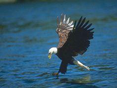 Foto de un águila cazando