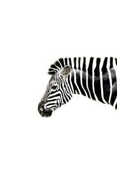 Kunst Bilder ideen - island of silence {Aus Leinwand schneiden (siehe anderer Pin)} - Beste Art Pins Zebras, Giraffes, L Wallpaper, Tier Fotos, Black N White, White Zebra, Zebra Print, Black And White Photography, Beautiful Creatures