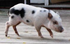 juliana pigs - mini pig for my mini farm