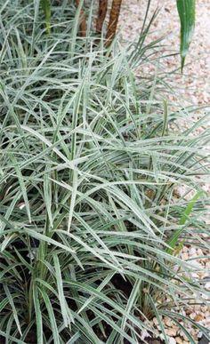 A barba-de-serpente-variegata (Liriope muscari 'variegata') preenche um dos canteiros (ambos foram feitos com uma camada de 10 cm de terra e delimitados com pedriscos por meio de separadores plásticos).