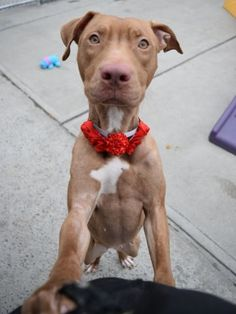 SUPER URGENT – CUDDLY BABY GIRL RETURNED – DASH aka JAMMA (20811) 1 year old SPAYED girl. Dash was surrender at the Brooklyn Center 15-Feb-2018 as a STRAY. Now is back to the Manhattan Center, still very sweet, loose and wiggly, friendly and playful towards the handlers. Little Dash really enjoys life, watch: https://youtu.be/IbTYipDIeOk  … and then HELP HER FIND FURREVER HOME, FULL OF LOVE AND WARMTH. ♥ http://nycdogs.urgentpodr.org/jamma-20811/