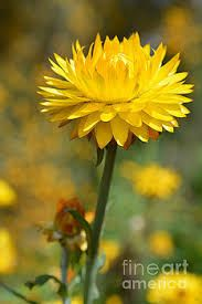 Image result for australian native flowers yellow