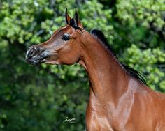 2008 Bay Mare The Sequel RCA x Asila RCA by Thee Asil Arabian Horses For Sale, Huge Eyes, Life Is A Gift, Rock Creek, Horse World, Amazing Nature, Savannah Chat, Egyptian, Animals
