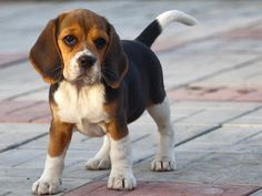 Adorable beagle pup