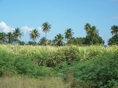 sugar cane in dominican republic | Following Christ… in the Dominican Republic » The Methoblog