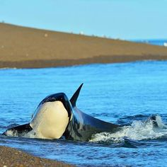 Orca sliding up to (but Not onto) the beach!