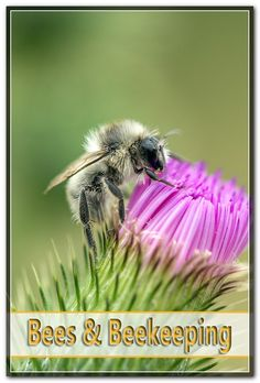 The springtime is the time when honeybees reproduce. The natural means of reproduction for honey bees is called swarming. The springtime swarming period typically last about three weeks. Bee Pictures, Honey Bees, Bee Keeping, Spring Time, In This Moment, Tips, Animals, Bees, Animales