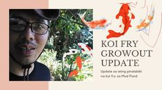 Koi Fry Growout Update Grown in the Mud pond 2021 Koi Fish Pond, Mud