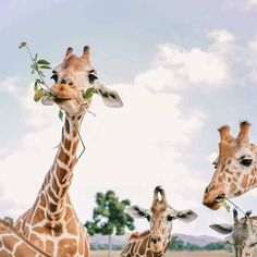 Discovered by ocean baby. Find images and videos about nature, animal and giraffe on We Heart It - the app to get lost in what you love. Cute Creatures, Beautiful Creatures, Animals Beautiful, Animals And Pets, Baby Animals, Cute Animals, Images Instagram, Tier Fotos, Animal Photography