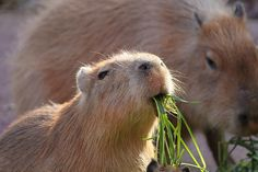 カピバラ #capybara by CapybaraJP, via Flickr