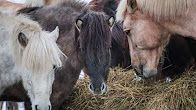 Johanna Ihalainen - YouTube Cow, Horses, Youtube, Animals, Animales, Animaux, Cattle, Animal, Animais