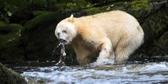 Spirit Bear Photos: Majestic Creatures Search For Food