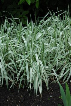 "Ribbon Grass  32""h  Plant in full sun to partial shade.  Less invasive in shady locations.  Hardy to Zone 2."