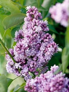 Lilacs: Spring's Favorite Perfume French Lilacs: Named for an important French lilac hybridizer, the double-petal florets of 'victor Lemoine' are classified as lilac but can look blue or pink. Lilac Tree, Lilac Flowers, Blooming Flowers, Love Flowers, Beautiful Flowers, Purple Roses, Exotic Flowers, Lilac Plant, French Lilac