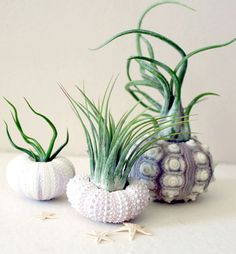 trio of air plant urchins by peacock taco on etsy.