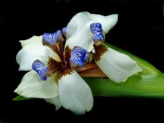 DETROIT'S rare orchid, at DETROIT'S Belle Isle Conservatory