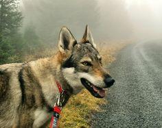 Kira, our Czechoslovakian Wolfdog