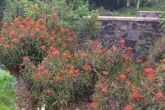 Euphorbia griffithii - Google Zoeken