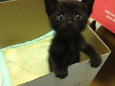 I'm getting my first pet today! Black Animals, Cute Animals, Kittens Cutest, Cute Cats, Cute Animal Pictures, Animal Pics, Tiny Kitten, Raining Cats And Dogs, Cute Little Things