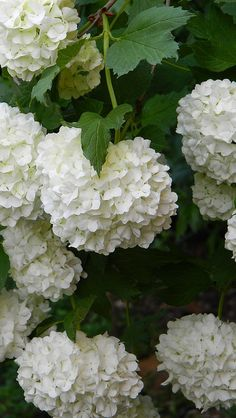White Hydrangeas                                                                                                                                                                                 More