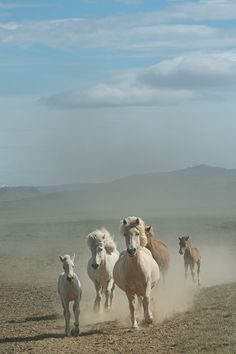 Icelandic horses | Carys Jones Photography