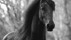 Friesian flowing mane GIF