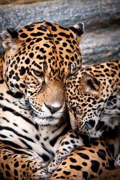 Jaguar Affection