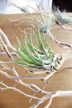 air plants nested in a manzanita branch