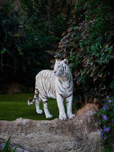 The White Tiger by Jouko Lehto Pretty Cats, Beautiful Cats, Animals Beautiful, White Bengal Tiger, White Tigers, Tiger Images, Cheetahs, Leopards, Big Cats