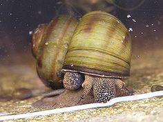 Fresh Water Snails.   Acute mud snail (Viviparus contectus).