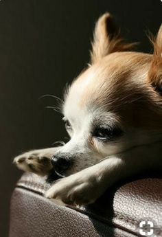 0ea49dd99 Love My Dog, Little Dogs, Chiwawa, Cute Dogs, Cute Puppies, Teacup