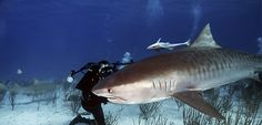 Shark Series – The Tiger shark http://www.dive.in/articles/shark-series-the-tiger-shark/