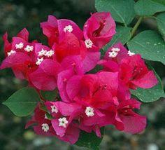 Bougainvillea blooms <3 www.ofnelsonandsonsnursery.com