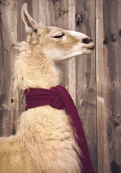 """Pajamas, Male Models—What More Do You Need for a Snow Day? Andrameda the llama—call her """"Annie""""—adores a long lean piece of knitwear.Andrameda the llama—call her """"Annie""""—adores a long lean piece of knitwear. Alpacas, Llama Pictures, Animal Pictures, Images Lama, Llama Pajamas, Farm Animals, Cute Animals, Llama Face, Cute Alpaca"""