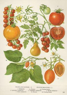 Vintage Botanical Print Antique TOMATOES, plant print botanical print, bookplate art print, vegetables plants plant wall: