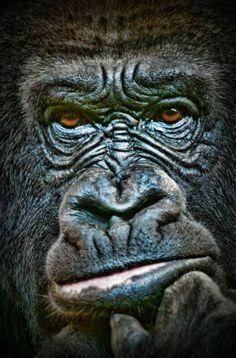 who should I scare today? Primates, Mammals, Beautiful Creatures, Animals Beautiful, Regard Animal, Animals And Pets, Cute Animals, Gorilla Tattoo, Silverback Gorilla