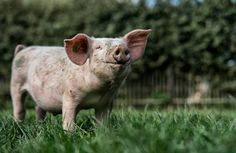 Happy Animals, Farm Animals, Animals And Pets, Cute Animals, Pig Pig, Funny Pigs, This Little Piggy, Primates, Cows