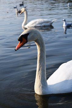 London. #dasynka #london #fashion #blogger #blog #globetrotter #travel #inspiration #inspo #hyde #park #nature #tree #fountain #flowers #lake #serpentine #duck #swan