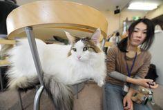 """Jovem observa um gato em """"Cat Cafe"""" de Tóquio, no Japão."""