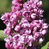 flieder syringa hyacinthiflora 39 anabel 39 rosa flieder. Black Bedroom Furniture Sets. Home Design Ideas