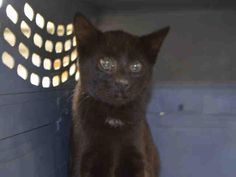 OUTER SPACE - A1091138 - - Staten Island   ***TO BE DESTROYED 10/06/16***SWEET LI'L BABY HALLOWEEN BLACK KITTEN NEEDS A HOME ASAP!! OUTER SPACE is a cutie! OUTER SPACE came into the shelter as a stray and is hoping to find a home tonight so he won't be killed tomorrow at the shelter. This adorable kitten is shy but lets himself be pet and handled. He would do great in an experienced pet home with no children. He may not have had much human contact, but he's at that yo