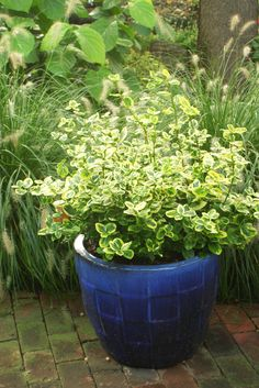 The Round Leaves Of Gold Splash Euonymus Are Soft Green And Yellow Will