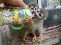 Adorable baby monkeys building up their strength! Gap Year, Primates, Monkeys, Ecuador, Cute Babies, Wildlife, Strength, Building, Baby